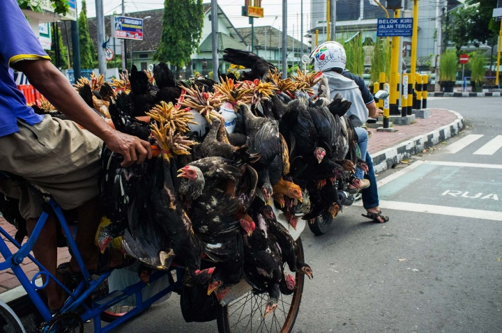 Chickens attached to a becak bike in Jogja.