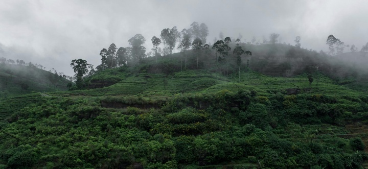 Fog over tea plantation in Piduruthalaga Forest Reserve.