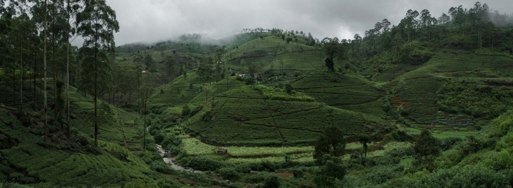 Panorama of tea fields in Piduruthalaga Forest Reserve.